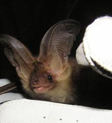 Bat survey UK