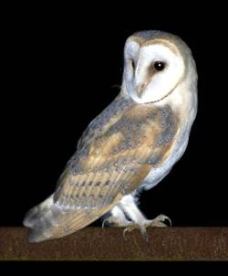 barn owl survey