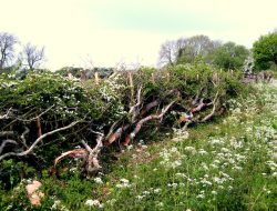 Laid Hedgerow, Willington