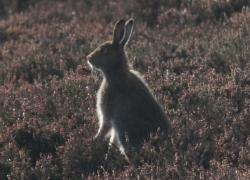 Mountain Hare Summer