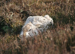 Mountain Hare Winter