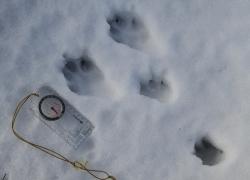 Mountain Hare Prints Snow